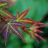 Acer palmatum Wendy - Japanese Maples