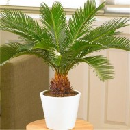 Cycad - Cycas revoluta - King Sago Palm Tree 40-60 cms