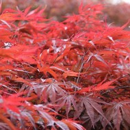 Acer palmatum Peve Dave - Japanese Maple