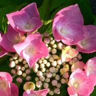 Hydrangea macrophylla Taube - Large Lacecap Hortensia Hydrangea Plant