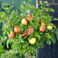Patio Fruit Tree - Compact Apple 'Braeburn' Tree