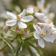 Choisya ternata Aztec Pearl - Mexican Orange Blossom - LARGE