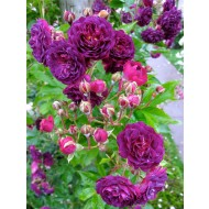 Large 6-7ft Specimen Climbing Rose Blue Magenta