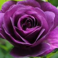 Rose Minerva - Floribunda Rose