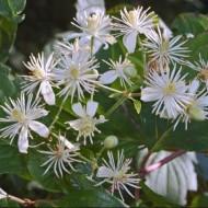 Clematis Vitalba - Summer Flowering Clematis