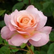 Rose Always Remember Me -Hybrid Tea Rose
