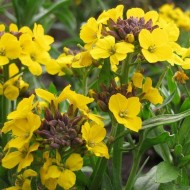 Erysimum suffruticosum Gold Dust Plants in Bud & Bloom