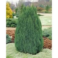 Juniperus chinensis Stricta - Dwarf Slow Growing Conifer - LARGE