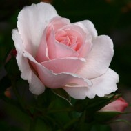 Rose Many Happy Returns - Floribunda Rose