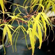 Acer palmatum Koto No Ito - Japanese Maple
