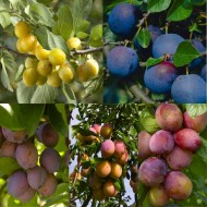 PLUM TREE - Multi-Variety Fruit Tree - PLUM - 5 varieties on one Tree!