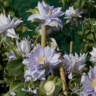 Clematis Dancing King - Late Spring Flowering Clematis