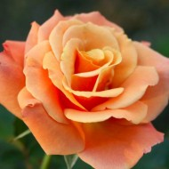 Rose Beautiful Britain - Floribunda Rose