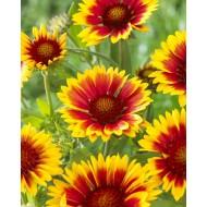Gaillardia Kobold Goblin - Blanket Flower