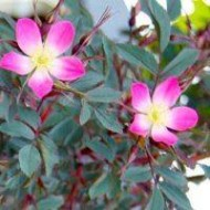 Rosa Glauca rubrifolia - Climbing Rose - Red Leaved Rose