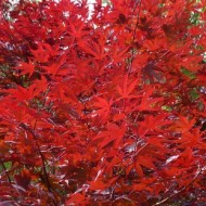 Acer palmatum Red Wine
