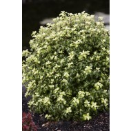 Pittosporum Gold Star - kohuhu
