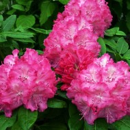 Rhododendron Germania - Rhododendron Hybrid