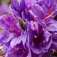 Rhododendron Dwarf Blue Silver