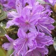 Rhododendron Moerheim - Dwarf Evergreen Rhododendron