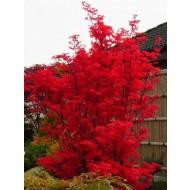 Acer Japanese Maple Tree - Skeeters Broom - Large 120-140cms tall
