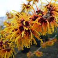 Hamamelis x intermedia Orange Beauty - Witch Hazel