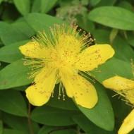 Hypericum Calycinum - Rose of Sharon