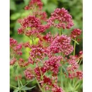 Centranthus Coccinea - Red Valerian