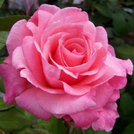 Rose Congratulations - Hybrid Tea Bush Rose