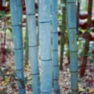 Phyllostachys nigra Henonis - Blue Bamboo 6ft Plants - Pack of Three +