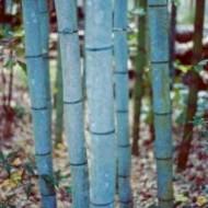 Phyllostachys nigra Henonis - Blue Bamboo 6ft Plants - Pack of Three +