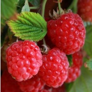 Raspberry Ruby Beauty - Dwarf Summer Fruiting Raspberry Plants