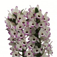 Dendrobium nobilis Love Memory - Premium Quality Towering Orchid in Classic White display pot