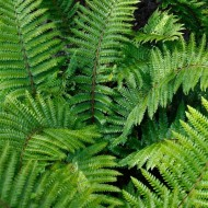 Polystichum aculeatum - Hard Shield Fern
