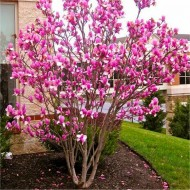 Large 4ft Magnolia Rustica Rubra - Tulip Tree