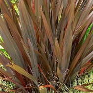 Phormium Amazing Red - New Zealand Flax