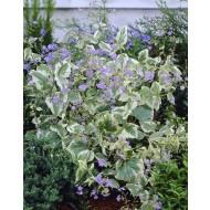 Brunnera macrophylla 'Hadspen's Cream'