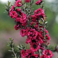 Leptospermum Crimson Glory - Manuka Honey Bush