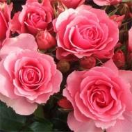 Rose You're Beautiful - Floribunda Bush Rose