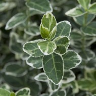 Euonymus fortunei Emerald Gaiety - Pack of THREE Plants