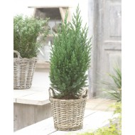Juniperus chinensis Stricta' - Dwarf Slow Growing Conifer