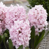 Pink Hyacinths in Bud