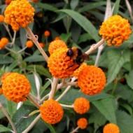 Buddleja Globosa - Orange Ball Tree Buddleia