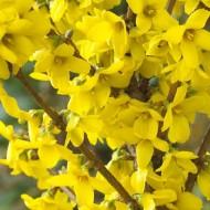 Forsythia spectabilis - Spring Flowering - LARGE Specimen