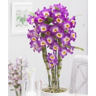 Dendrobium 'King' Towering Nobile Orchid Premium Quality with White Pots - TWIN PACK
