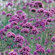 BULK PACK - Verbena bonariensis - Pack of TWELVE Plants