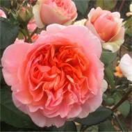 Rose Duchess of Cornwall - Shrub Rose