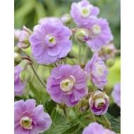 Geranium pratense Summer Skies - Soft Sky Blue Double Flowers