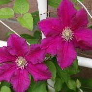 Large 6-7ft Specimen Climber - Clematis Ernest Markham - Summer Flowering Clematis
