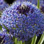 Scilla peruviana Caribbean Jewels Sapphire Blue
